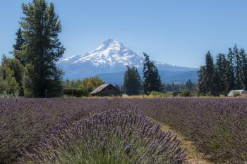 Lavender Valley, Hood River, Oregon, with Mt. Hood, August
