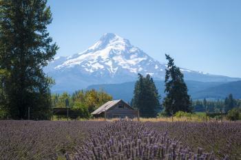 Lavender Valley, Hood River, Oregon, with Mt. Hood