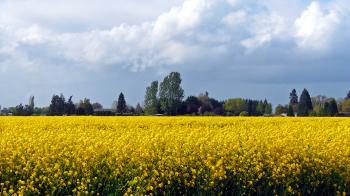 Lebanon, Oregon, Turnip Fields