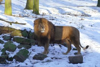 Leeuw in arnhem burgers Zoo