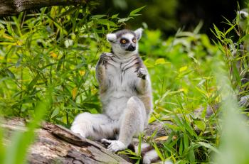 Lemur Sitting on Tree Trunk