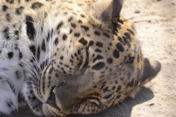 Leopard napping