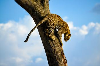 Leopard on Tree Trunk