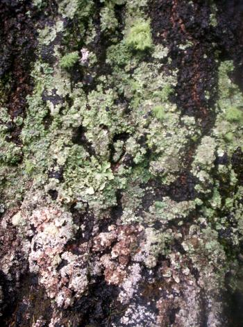 Lichen on West Facing Silver Birch 1
