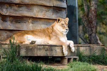 Lion on Wood