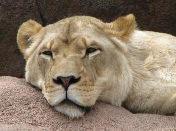 Lioness in closeup