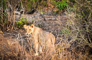 Lioness on Forest