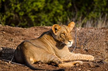 Lioness on Ground