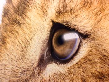 Lions Sad Eyes - Close-Up