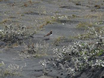 Little bird in volcanic ash