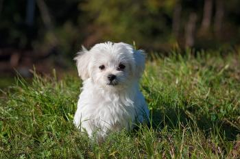 Small maltese dog
