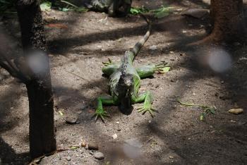 Lizard at Surabaya Zoo
