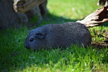 Lonely Guinea