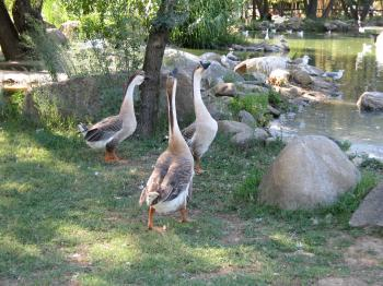 Long Neck Geese
