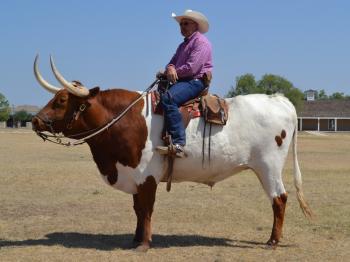 Longhorn Bull Rider