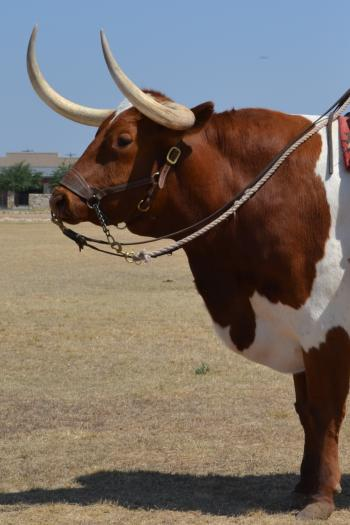 Longhorn Bull
