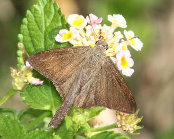 LONGTAIL, BROWN (Urbanus procne) (3-6-12) frontera audubon, weslaco, tx