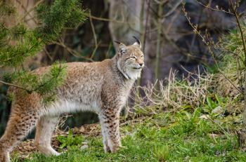 Lynx in the Jungle