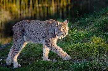 Lynx in the Zoo