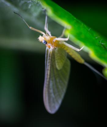 Macro Photo of a Beige Mayfly on Green Leaf