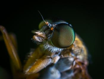 Macro Photo of a Brown Fly