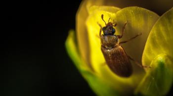 Macro Photography Brown Beetle on Yellow Flower