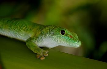 Madagascan Day Gecko .