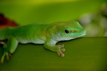 Madagascan Day Gecko (7)
