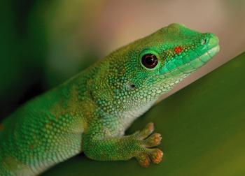 Madagascan Day Gecko.