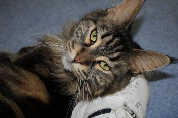 Maggie the cat lying on my shoe
