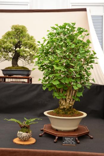 Maidenhair tree bonsai