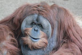 Male Adult Orangutan