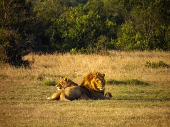 Male and Female Lions on Grass Field