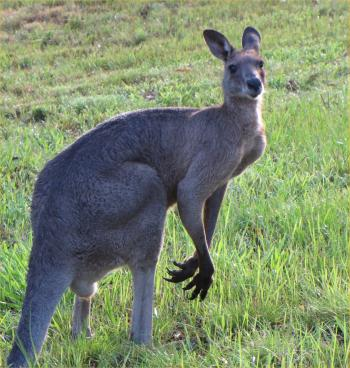 Male Grey Kangaroo
