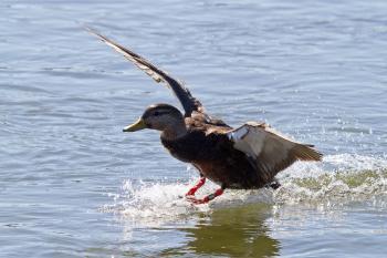 Mallard duck, Anas platyrhyncos