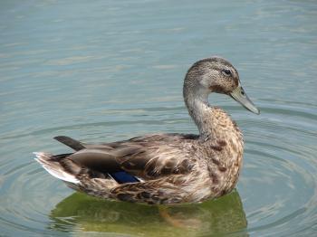 Mallard Duck in the River