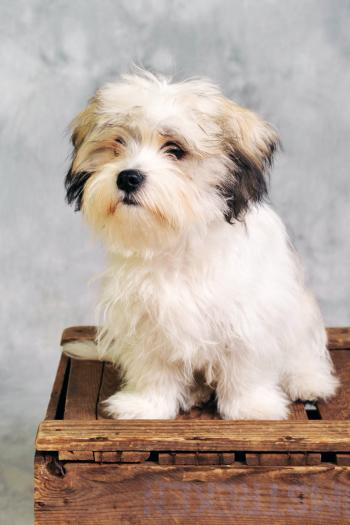Maltese dog sitting on wooden box