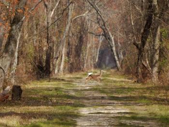Mammal deer Dismal Swamp SP ncwetlands KG (21)