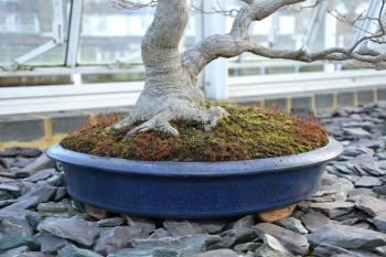Maple bonsai tree and container