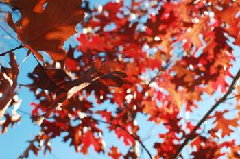 Maple Leaves over blue sky