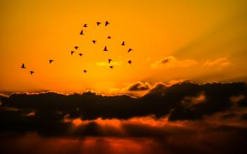 Mass of Bird Flying during Sunset