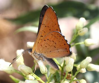METALMARK, ARES (Emasis ares) (8-30-11) harshaw road, scc, az (5)