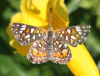 METALMARK, SONORAN (Apodemia mejicanus) (7-24-12) male, california gulch, scc, az -01