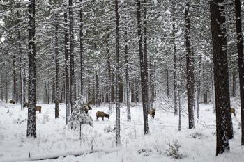 Metolius area elk in snow, Oregon