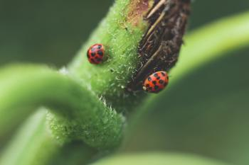 Micro Photography of Two Red-and-black Ladybugs