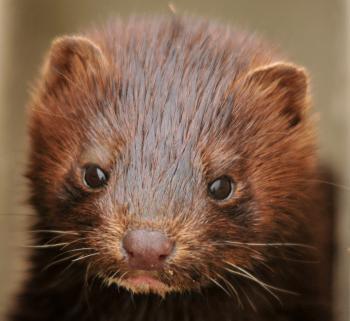 Mink Closeup