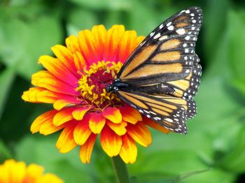 Monarch on the Flower
