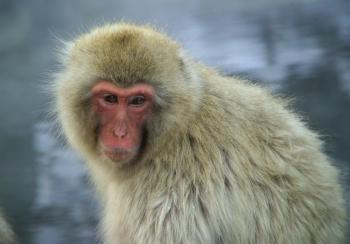 Monkey in Winter