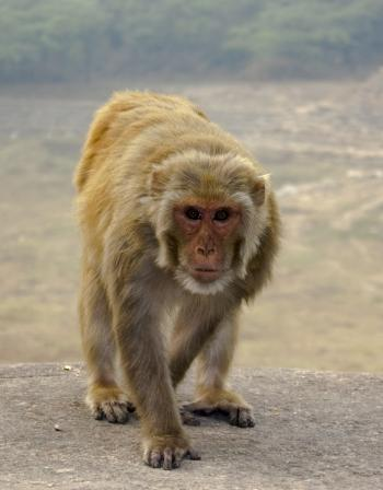 Monkey walking on Stone Wall
