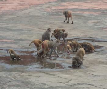 Monkeys Drinking Water